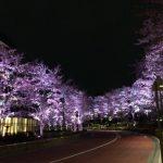 都会のど真ん中 六本木「東京ミッドタウン」でお花見 昼の桜もいいけど、夜桜が格別なんです