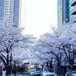 「泉ガーデン・泉通り」桜満開!都心の桜並木が続く穴場スポットはココ!