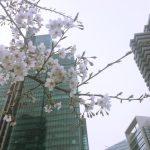 東京六本木「アークヒルズ&泉ガーデン」付近の桜並木が今年もすごいです 3/30現在の様子